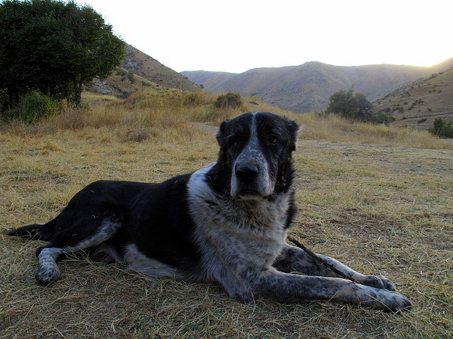 https://commons.wikimedia.org/wiki/File:Turkmen_Sheppard_Dog.jpg